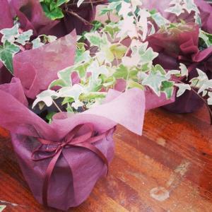 ヘデラとシダ植物の販売