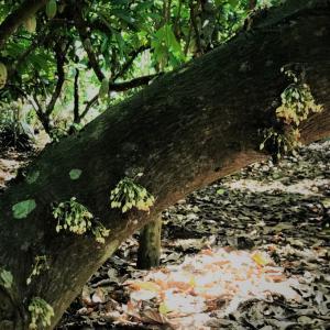 チョコの原料になるカカオ。カカオのお花を初めて見た(写真で(笑))