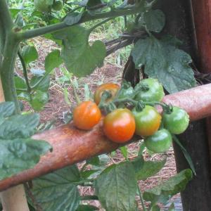 トマトで元気に