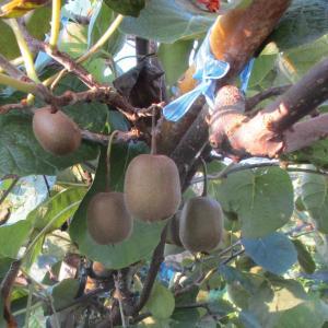 キウフルーツ 間もなく収穫