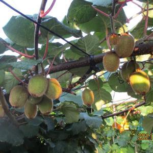 夏を取り込む   キウイフルーツ