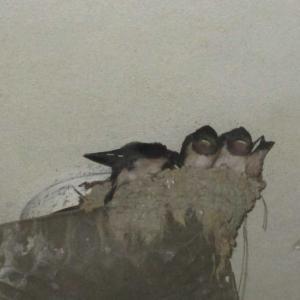 大海原へ羽ばたけ!! ツバメの巣立ち