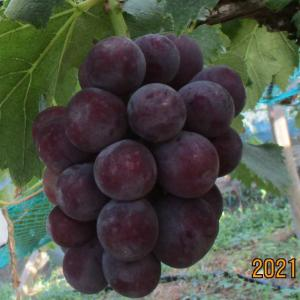 岡山の黒色ブドウの代表格はピオーネとオーロラブラック