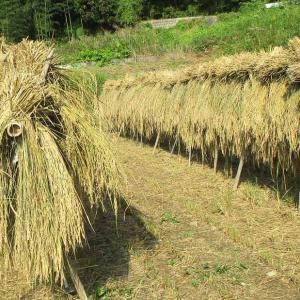 秋の、汗の風物詩‥稲はぜ
