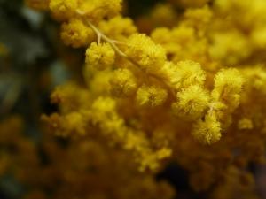 ミモザの季節頃、咲いているかなぁ