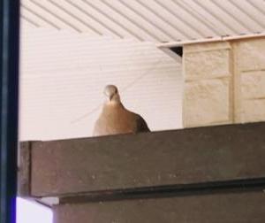 鳩を見守る生活。