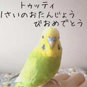 トゥッティ(セキセイインコ)と暮らしはじめて1年。自分が小鳥と暮らすとは思ってもいなかった。人生どう進むかわからない。