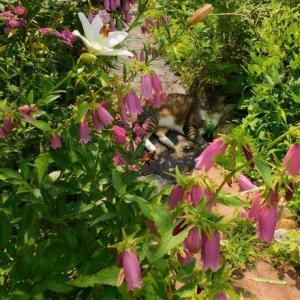 キキョウの開花