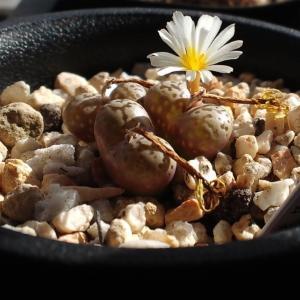 ネオハリーの花とリトープスの蕾