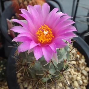咲いた・・・紫太陽と魔笛