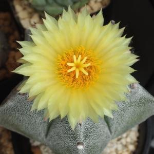ランポーの花とメソポタミクムの花