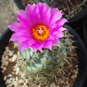 ピンク花、属イロイロ