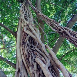 Story of Banyan Tree