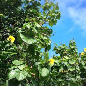 ハワイの伝説- Hauの花
