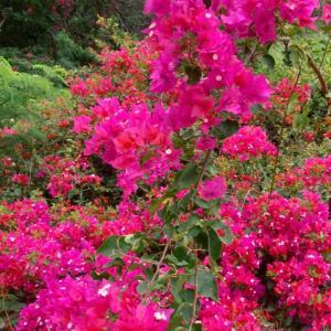 思い出の花、Pua Kepalo
