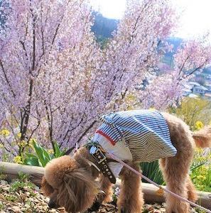 お花見散歩~桃源郷花見山🌸