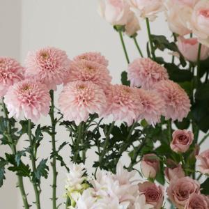 美しい菊の花