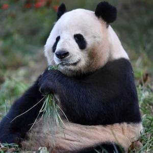 寒い冬でもぽっかぽか 日なたぼっこを楽しむパンダ 中国・陝西省