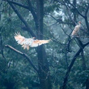 トキの姿が「故郷」の風物詩に 陝西省洋県