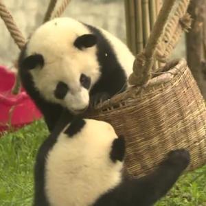 赤ちゃんパンダが揺り籠の取り合い 陝西省