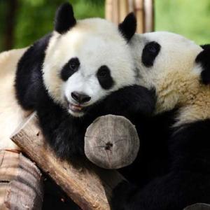 午後のひと時を楽しむ秦嶺のジャイアントパンダ 陝西省