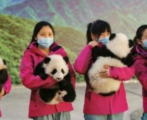 西安 秦嶺の赤ちゃんパンダ4匹の名前を募集! 陝西