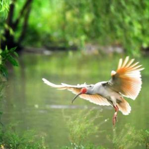トキの再発見から40年、7羽から7000羽に増加