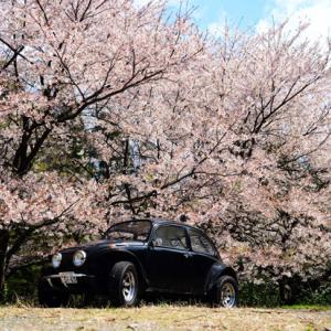 Cherry blossoms and my Bug