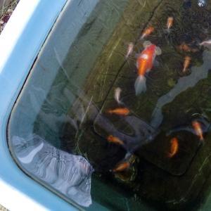 水泡眼稚魚100日歳
