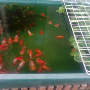 外金魚は夏仕様