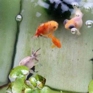 金魚のチュール