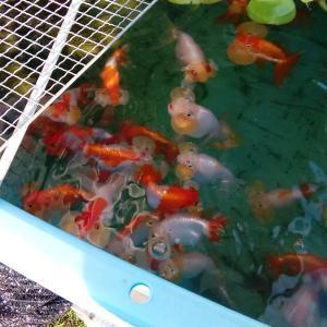 夏の終わりの金魚