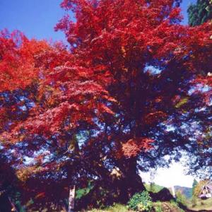 日本は稀な巨樹の国!イチイガシの巨樹・ジャングルジムのよう!巨樹百景!