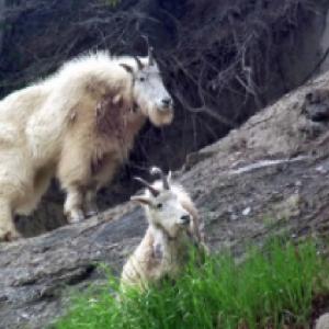 クリフ・ハンガー!グレイシャー国立公園のシロイワヤギ!1日に数百メートルの標高差を移動!