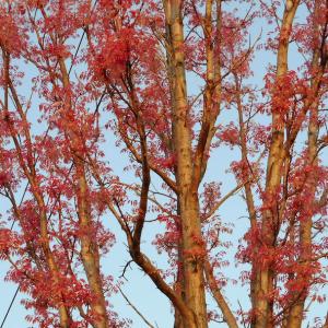 新緑が綺麗な時期です!!朝の散歩が楽しみです! チャンチンと寒緋桃=カンヒトウ!
