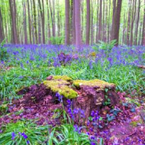 ハルの森ベルギー!春を報せるブルーベリー!おとぎ話のように幻想的で美しい景色!