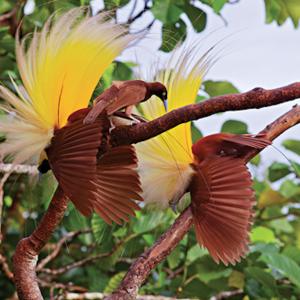 華麗なる求愛!極楽鳥の華麗な求愛ダンス!花が開いたような・黄金色の飾り羽!!