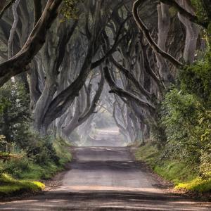 異世界へ続くブナの道!ダーク・ヘッジ!ブナが曲がった枝を張り出しトンネルの様!