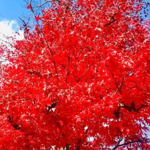 真っ赤な秋を堪能〜