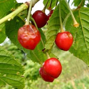 畑に果樹も植えるわけ