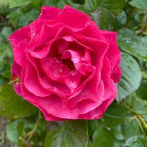 薔薇ノ花。ナニゴトノ不思議ナケレド。