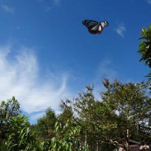 夢・ロマン~素敵な自然を旅する蝶。アサギマダラ・・・