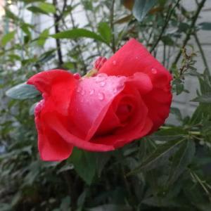 薔薇の観察~日々楽しいです。