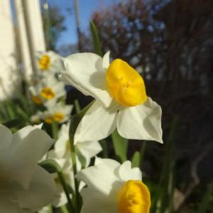 日曜の冬の朝・・・・・ロウバイの花と香りに癒され~