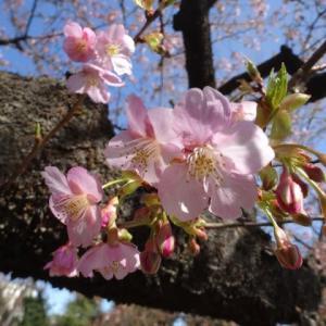 河津桜の咲く市ノ坪公園へ・・・