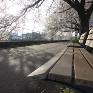 桜が満開~遊歩道は桜が覆い被って~花って癒し効果最高、眺めも最高。
