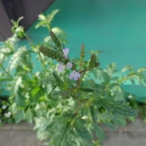 薔薇、紫陽花などながめ・・・心・・・癒してます。
