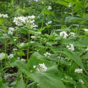 家庭菜園で過ごしました。なす、絹さやの収穫(少量)。花を眺めたり~