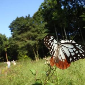 赤城自然園へ・・・渡り蝶~アサギマダラ・自然の森で癒され~
