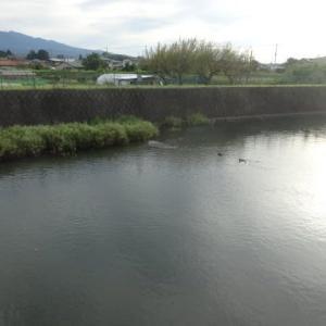 一句🔰・・・秋めいて~鴨が川に、朝顔の花、たくさん咲き~